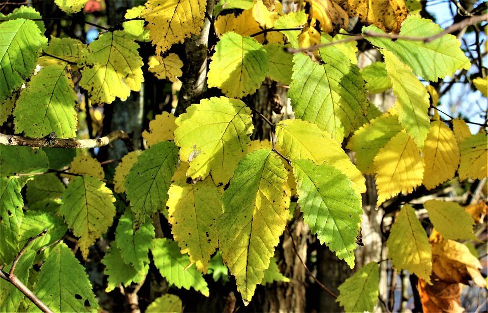 Autumn, Yellow Leaves, Leaf, Autumn Leaves, Tree