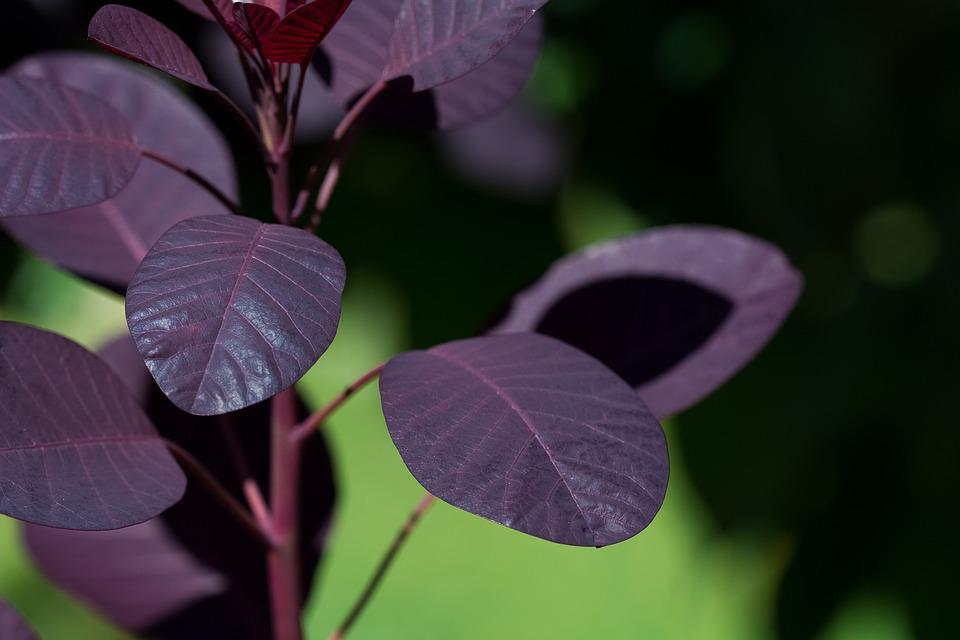 Leaves, Red Leaves, Tree, Cotinus Coggygria