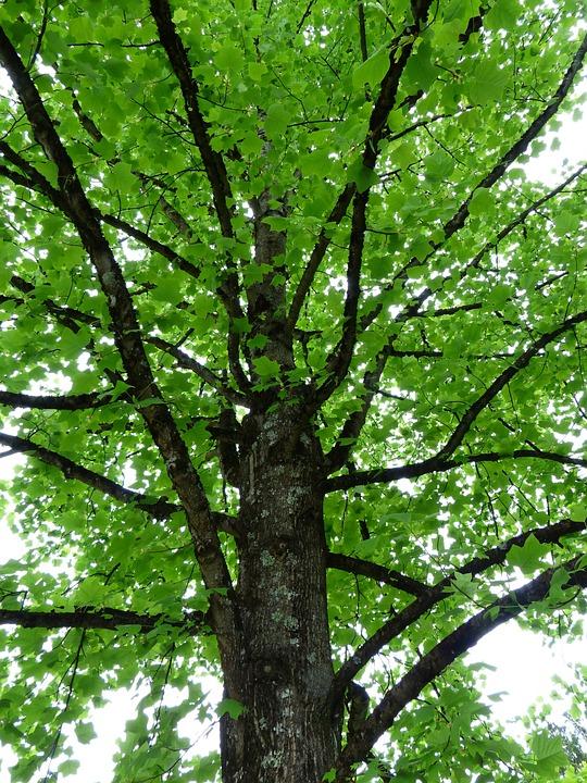 Tulip Tree, Tree, Leaves, Green, Light, Airy, Spring
