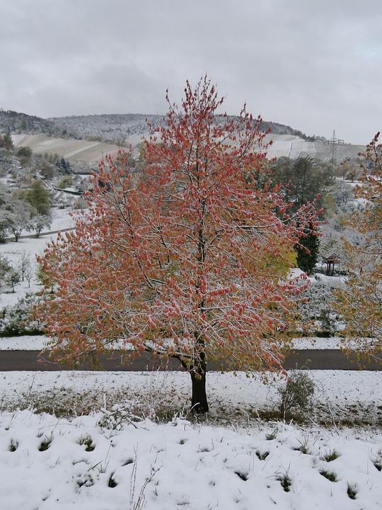 Winter, Winter Blast, Maple, Tree, Red, Leaves, Snow
