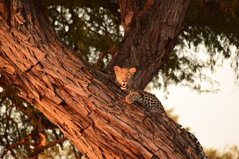 Leopard, Tree, Botswana