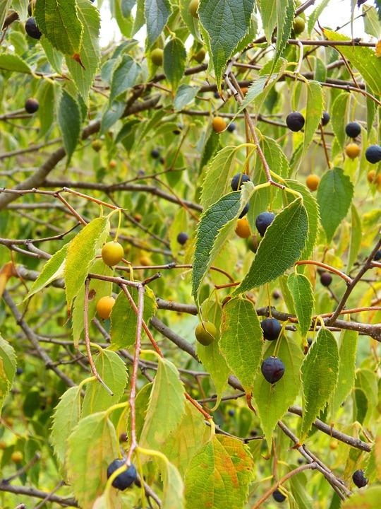 Hackberry, Fruit, Tree, Lledoner