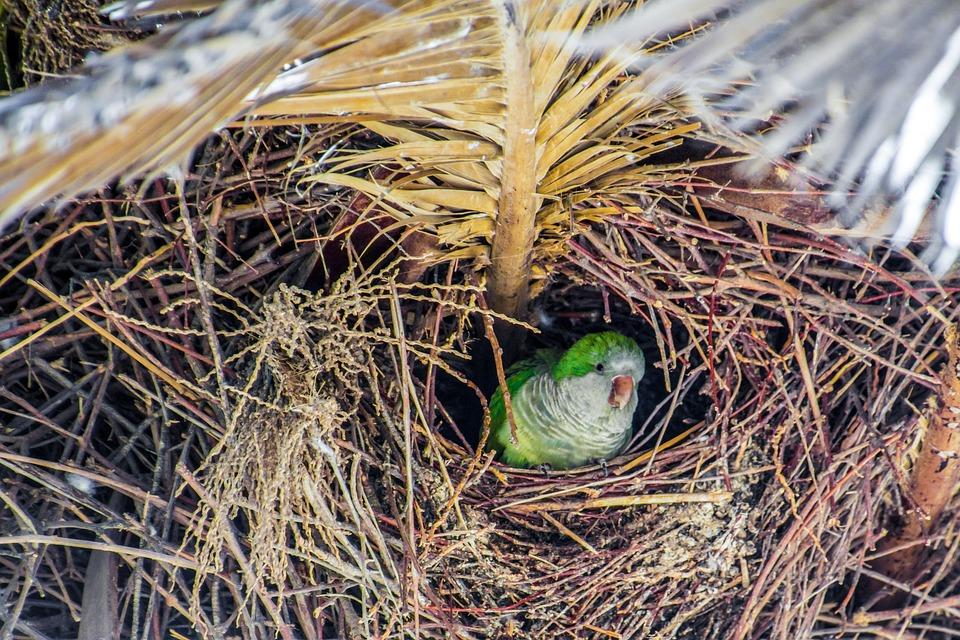 Nest, Monk Parakeet, Parrot, Bird, Tree, Palm, Green