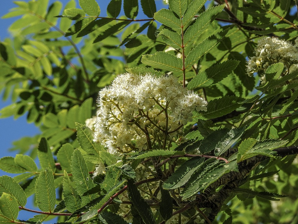 Mountain Ash, Bloom, Tree, Plant, Branch, Green, Nature