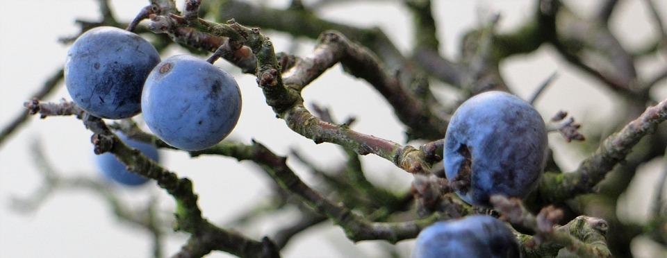 Sloes, Berries, Fruit, Nature, Tree, Seasons