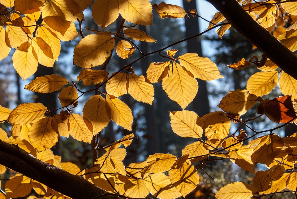 Beech, Tree, Autumn, Foliage, Bile, Nature, Forest