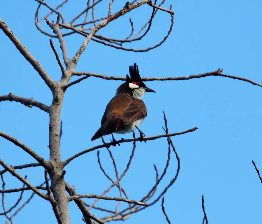 Red Whiskered Bulbul, Bird, Nature, Tree, Wildlife