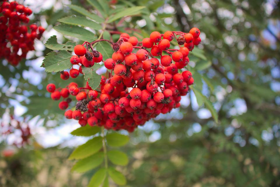 Berry, Plant, Tree, Nature, Fruit, Berry Red