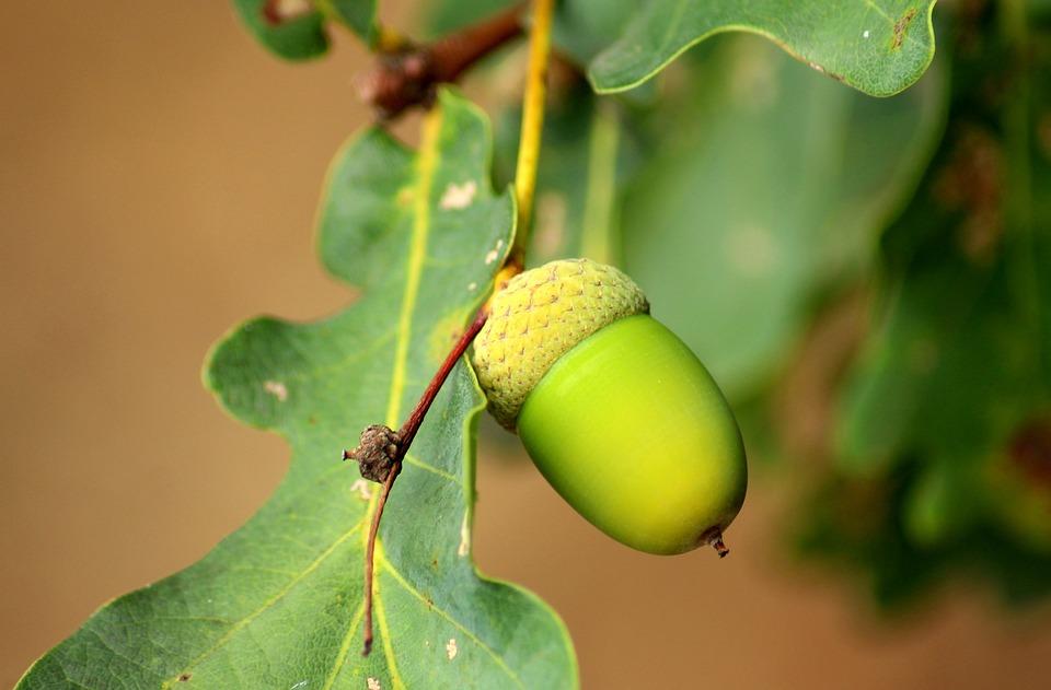 Acorn, Oak, Seedpod, Tree, Foliage, Green, Nature
