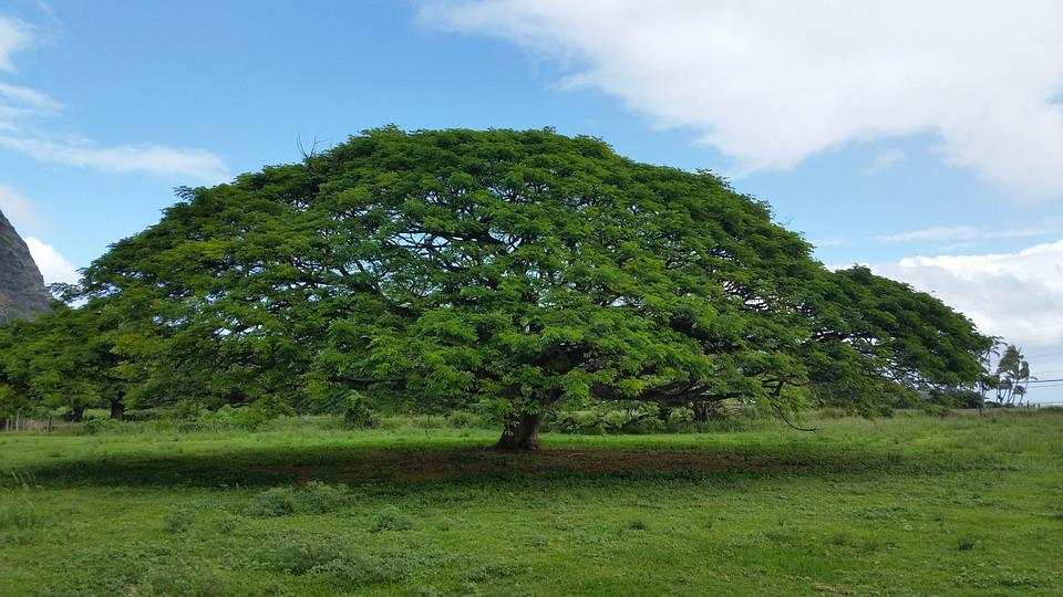 Hawaiian Umbrella, Tree, Nature, Green