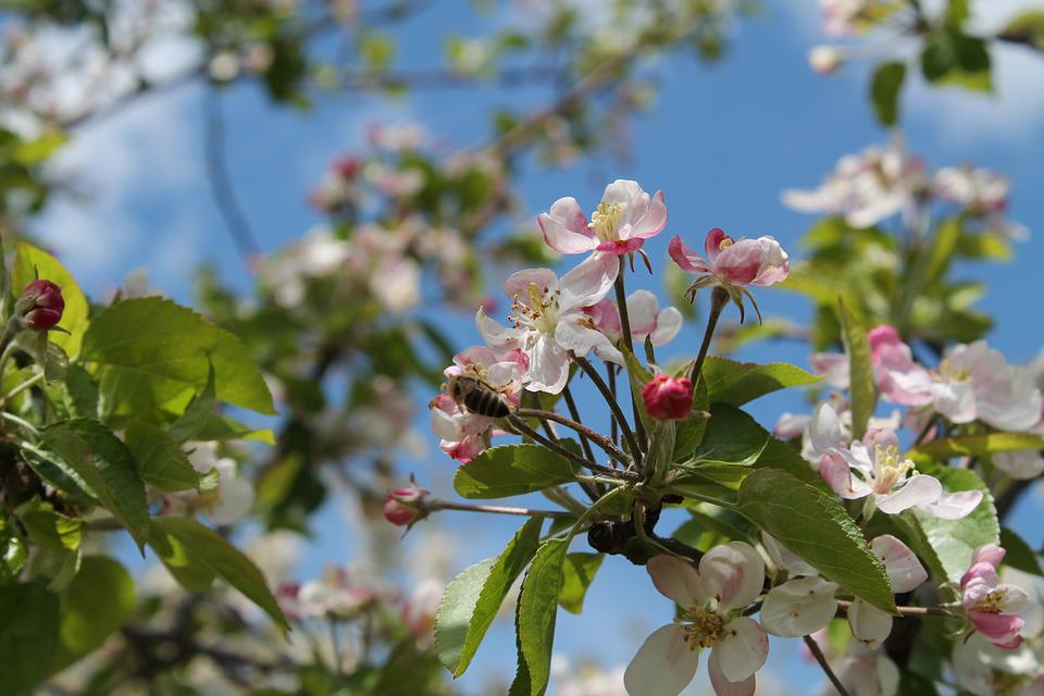 Cherry, Tree, Nature, Spring, Color, Bee, Insect