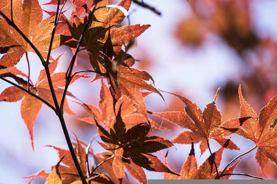 Japanese Maple, Tree, Nature, Leaves, Flora