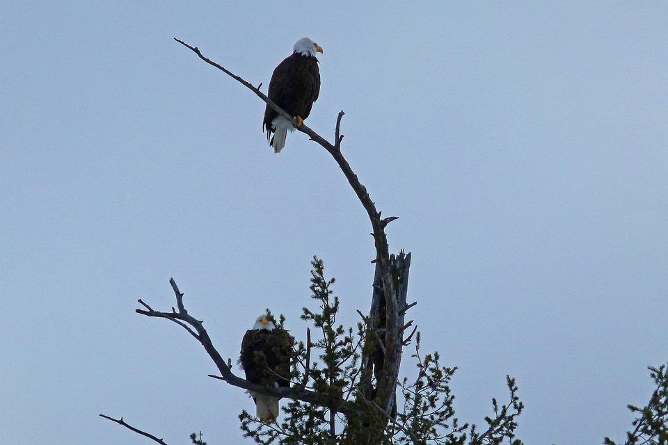 Bald Eagles, Tree, Landed, Nature, Bird, Raptor, Sky
