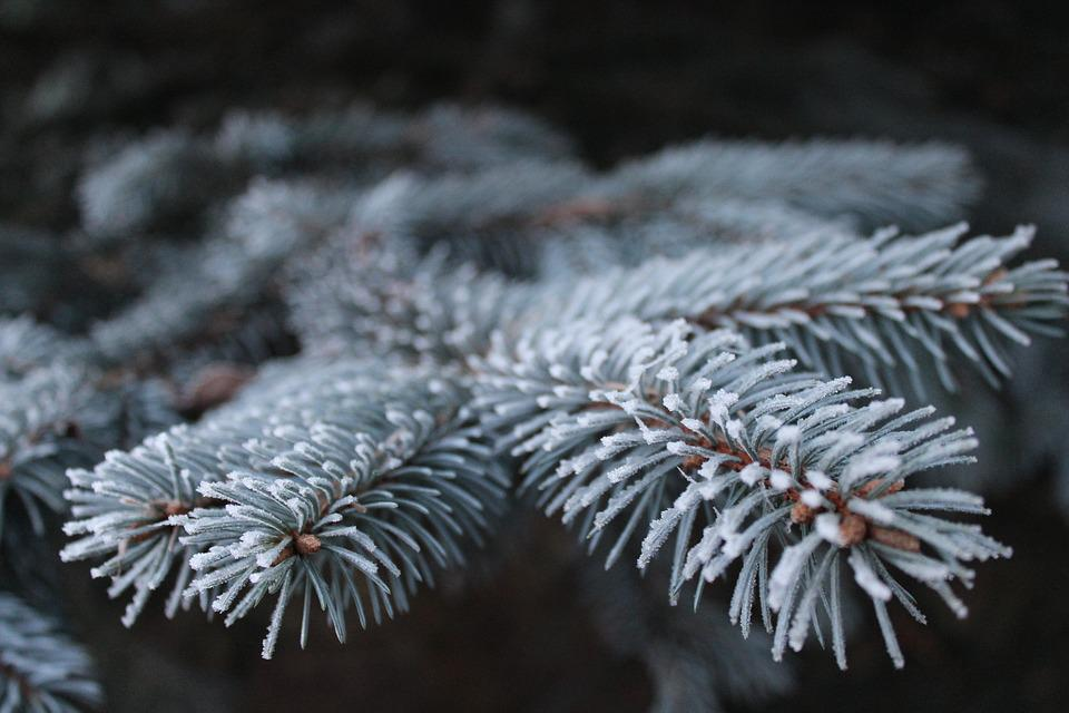 Frost, Branch, Pine, Spruce, Iglak, Tree, Needles
