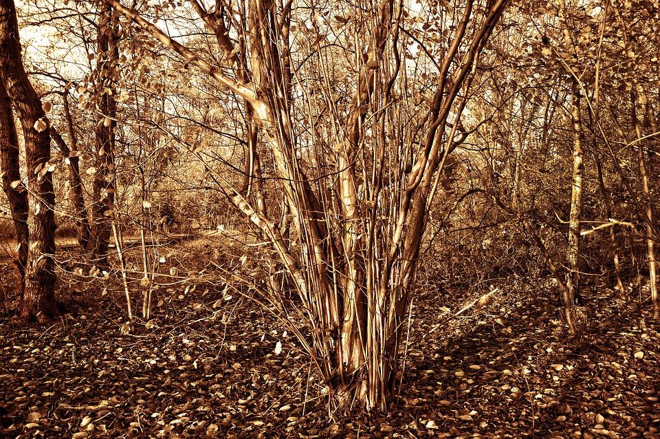 Hazelnut Tree, Hazel, Corylus, Tree, Shrub, Nut, Food