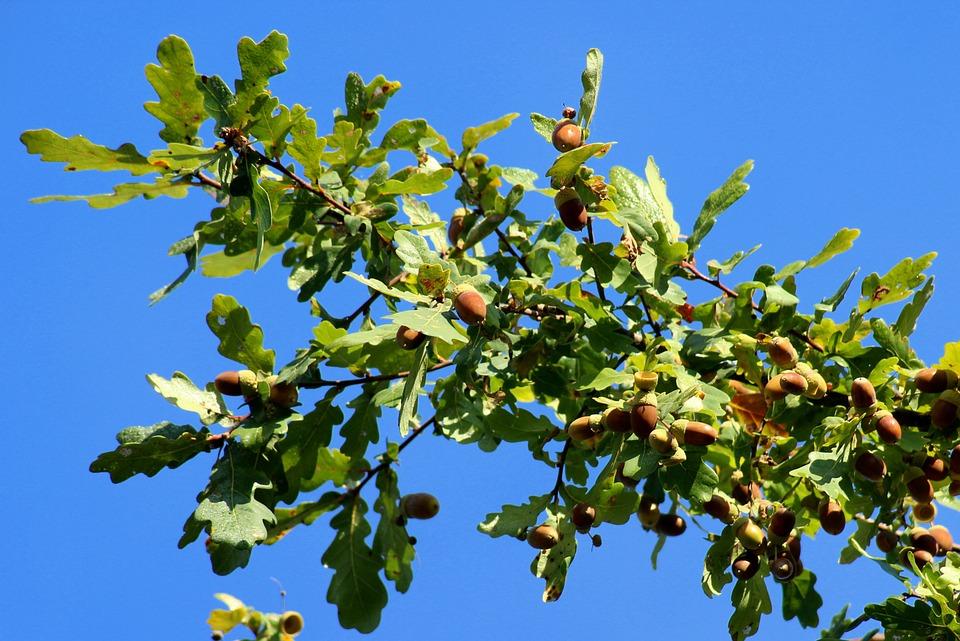 Oak, Acorns, Branch, Autumn, Tree, Plant, Foliage
