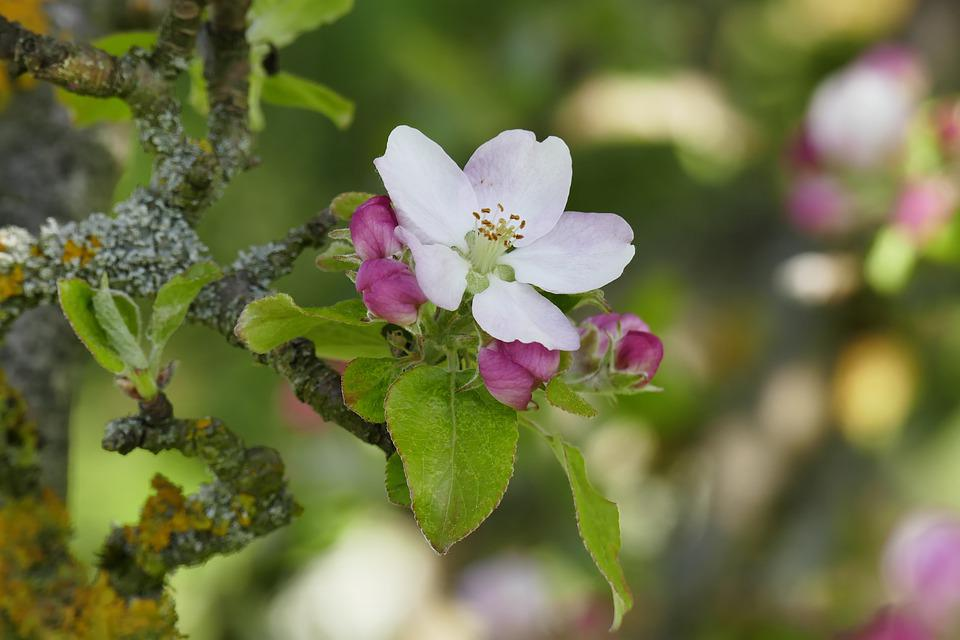 Apple Blossom, Old Branches, Nature, Tree, Apple Tree