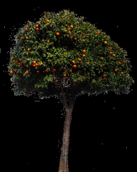 Oranges, Orange Tree, Tree, Fruits, Nature
