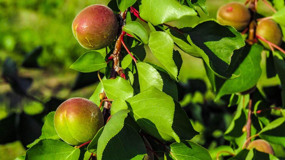 Peaches, Peach, Fruit Trees, Nature, Plant, Fruit, Tree