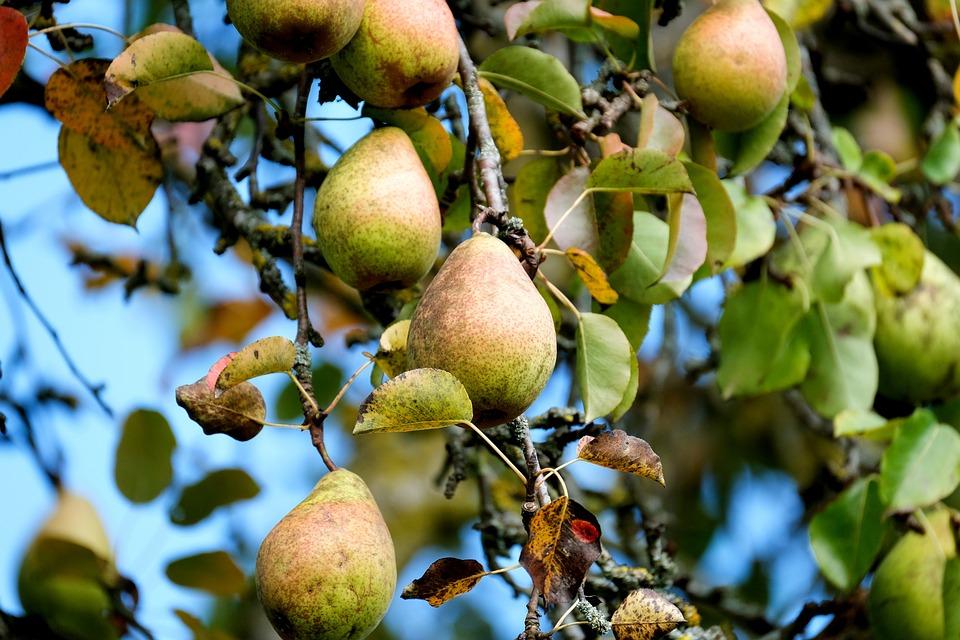 Pear, Fruit, Tree, Food, Healthy, Vitamins, Orchard