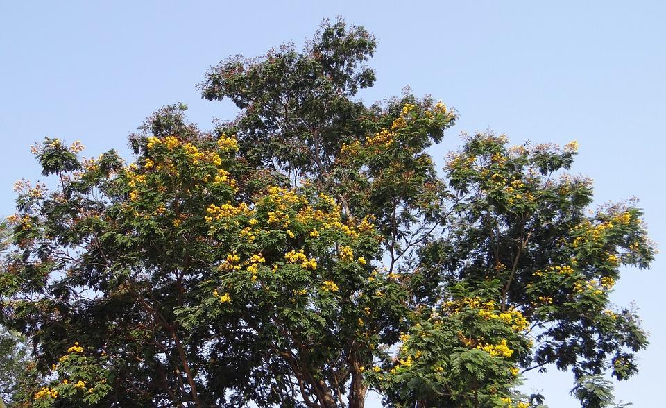 Peltophorum Pterocarpum, Copperpod, Tree, Flowers