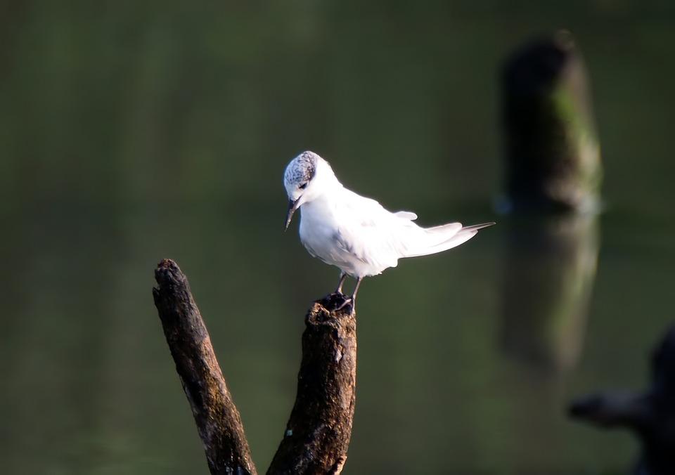 Little Tern, Perch, Tree, Branch, Water, Wetland