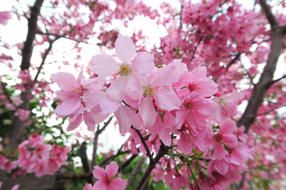 Flower, Cherry Wood, Branch, Plant, Tree