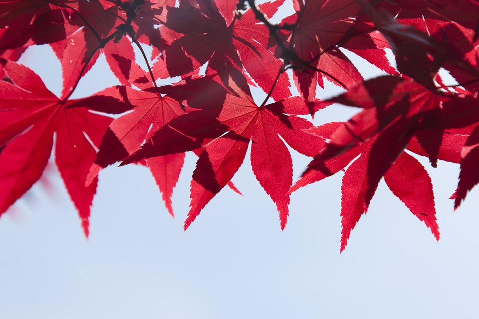 Leaves, Tree, Summer, Autumn, Branch, Red, Plant