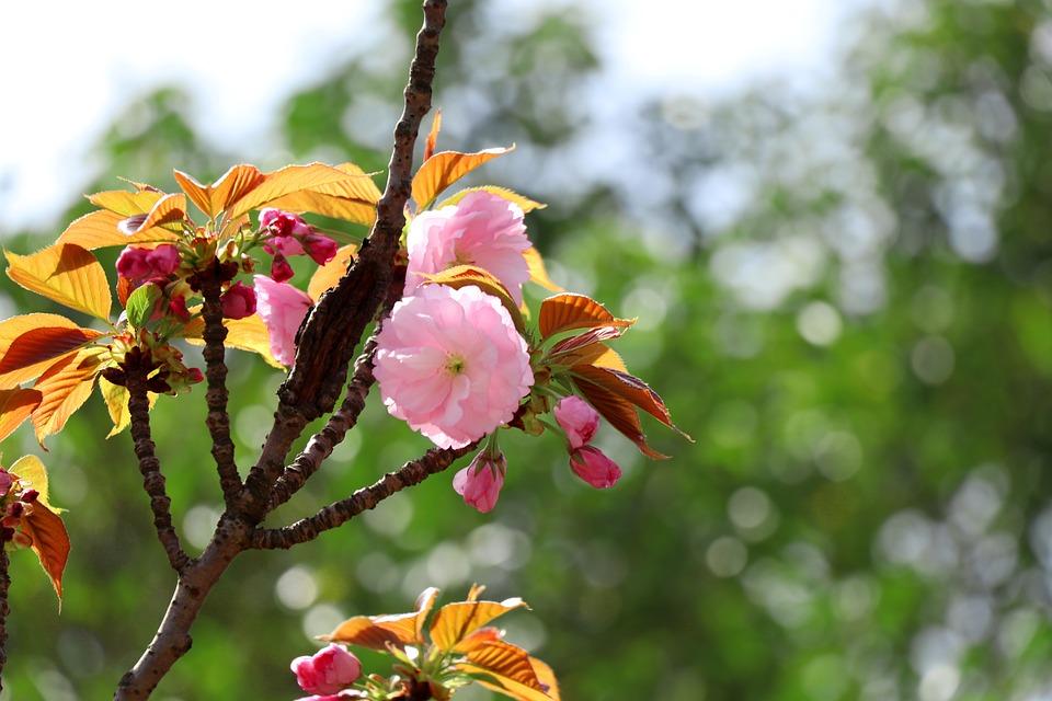 Nature, Flower, Tree, Plant, Garden, Cherry Blossom