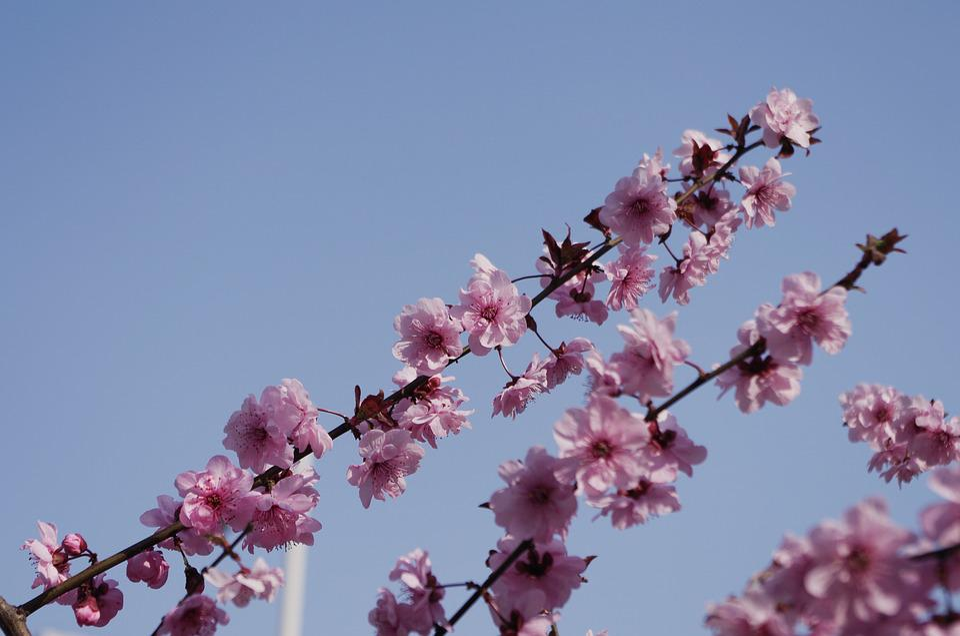 Flower, Branch, Cherry Wood, Tree, Plant