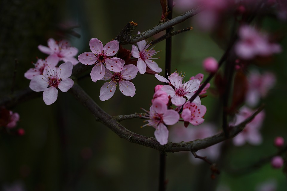 Flower, Nature, Cherry Wood, Branch, Tree, Plant