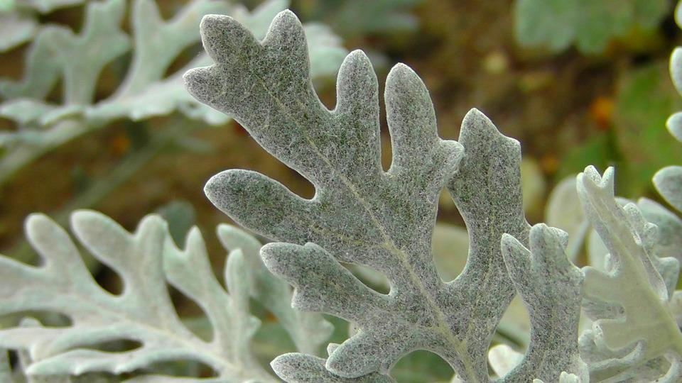 Silver Leaf, Tree Plant, Leaf, Leaves, Plant, Silver