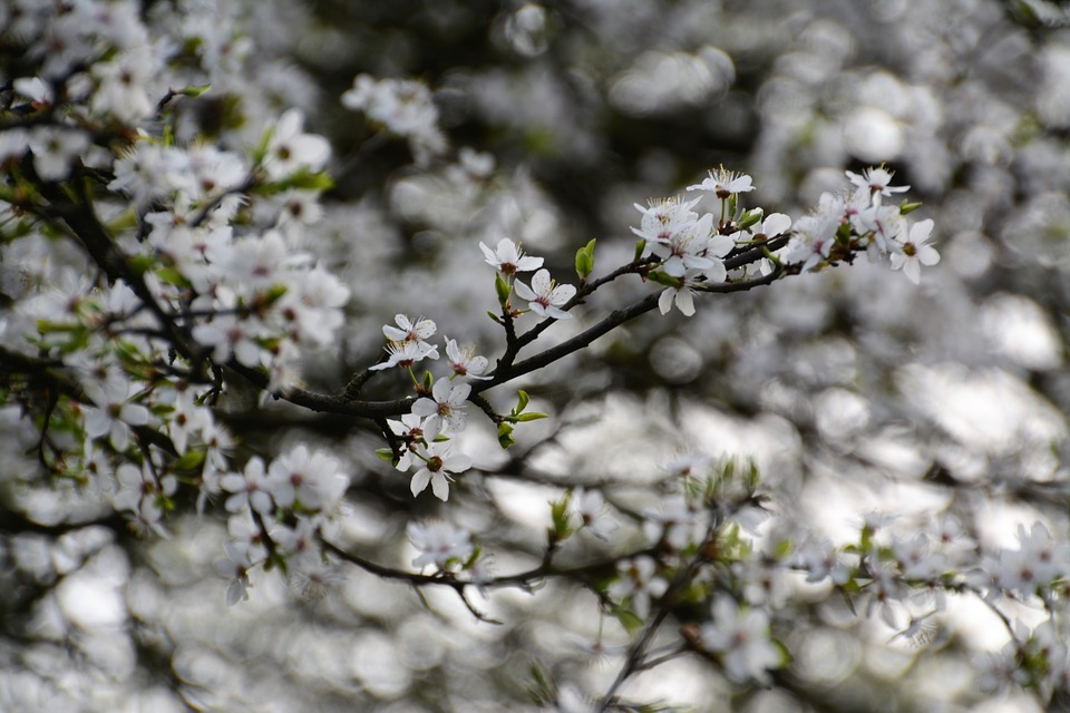 Tree, Season, Flower, Cherry, Plant, Nature, Blooming
