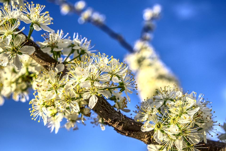 Blossom, Bloom, Bloom, Plum, Tree, Fruit Tree, Fruit