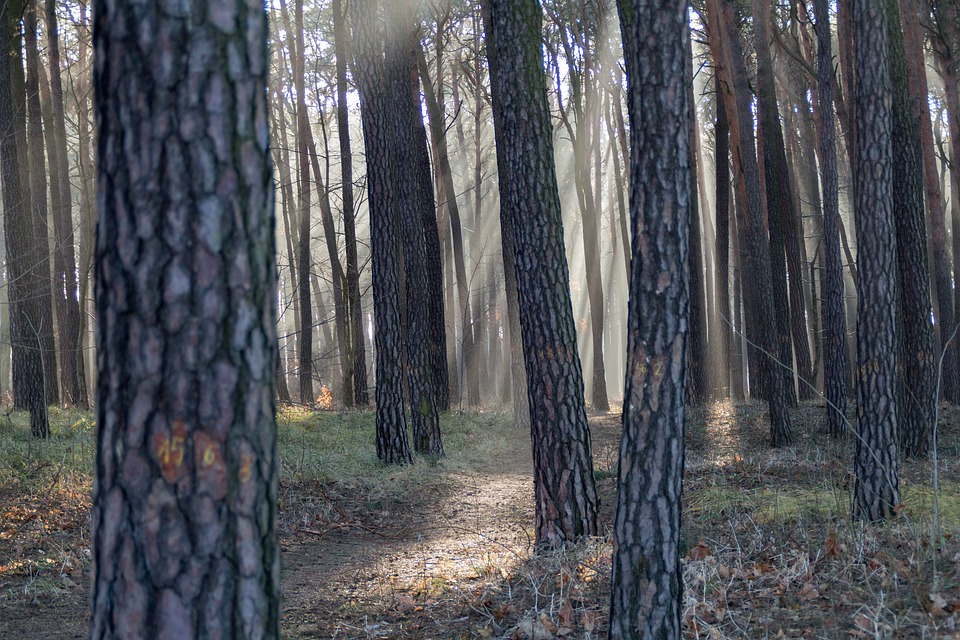 Rays Of The Sun, Forest, The Rays, Tree, The Sun
