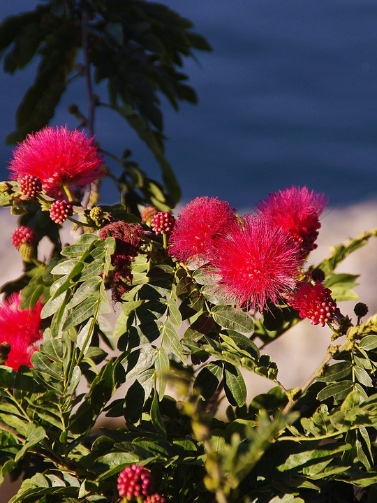 Mimosa Pudica Red, Red, Flower, Tree, Flowering