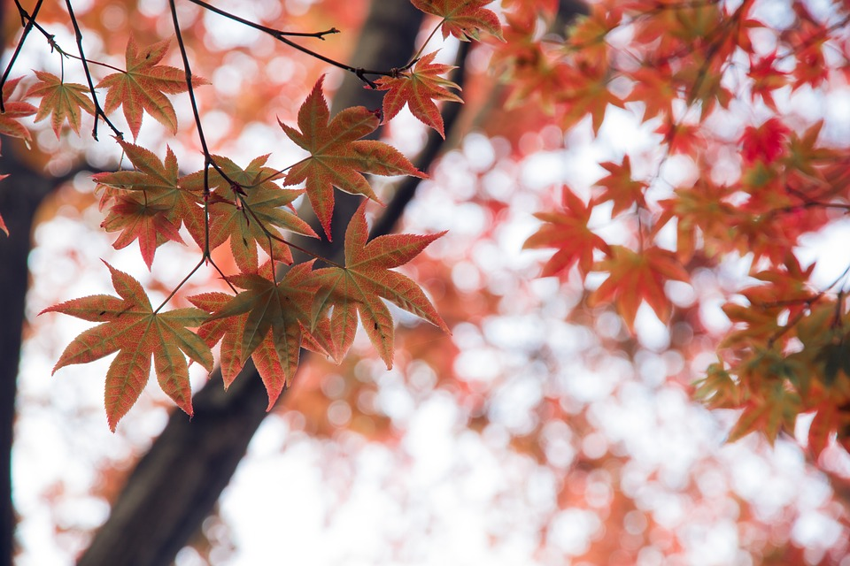 Red Leaves, Autumn, Tree, Maple