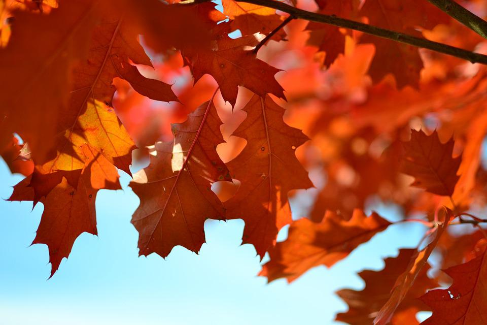 Autumn, Foliage, Red Leaves, Tree, Autumn Gold, Sprig