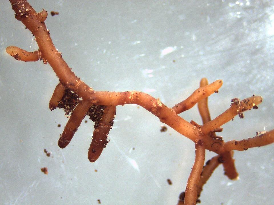 Mycorrhiza, Ectomycorrhiza, Mushroom, Root, Tree, Beech