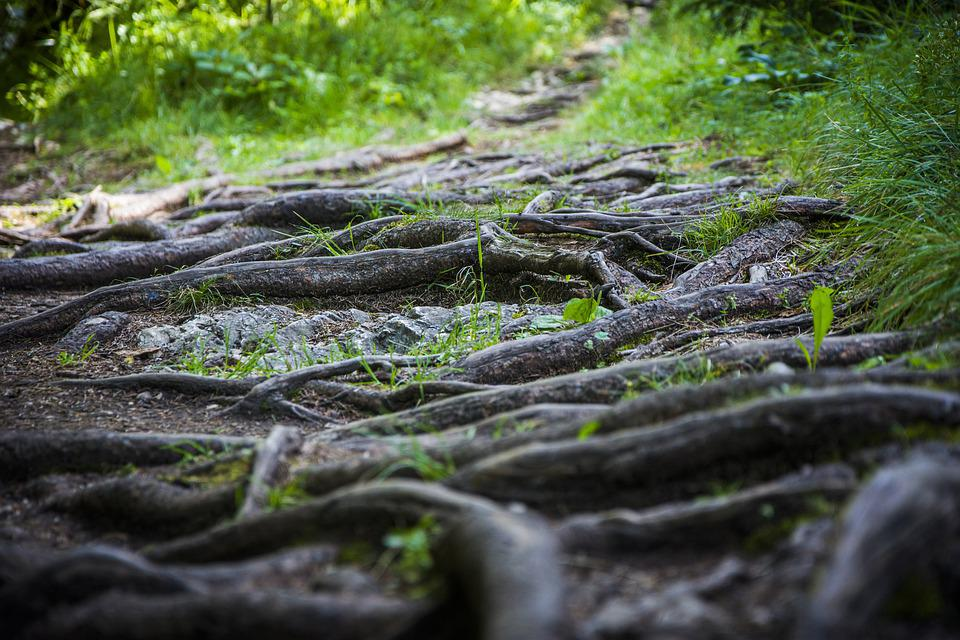 Roots, Nature, Path, Woods, Green, Forest, Tree, Root