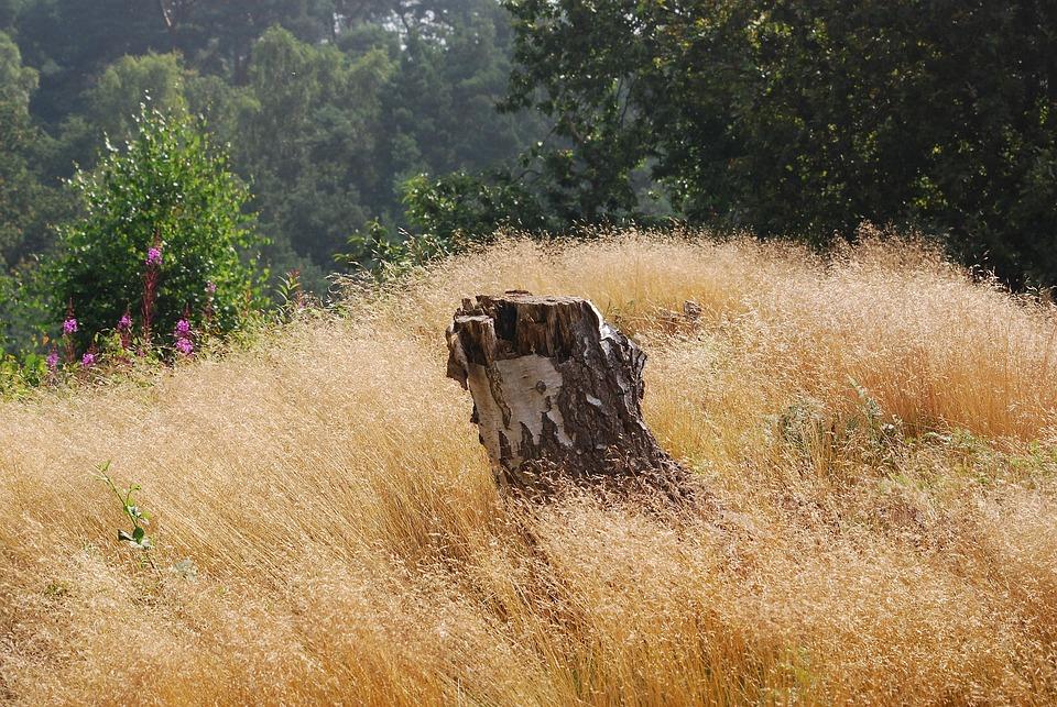 Grass, Summer, Seeding, Seeds, Nature, Tree, Birch