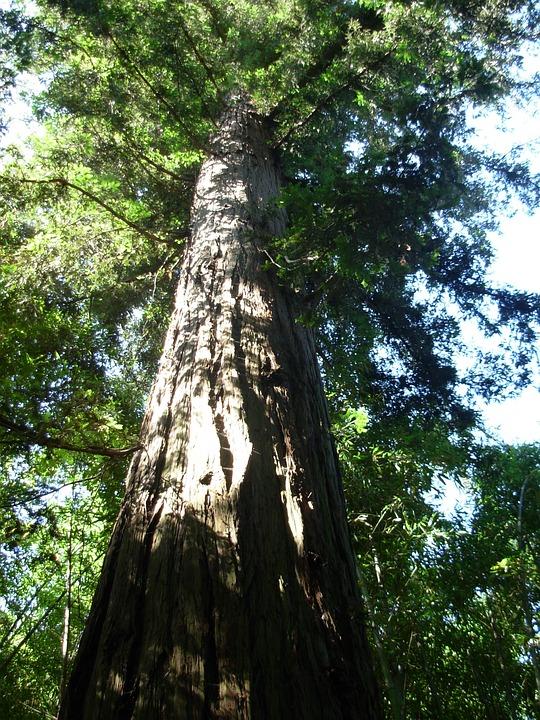 Sequoia, Tree, Nature