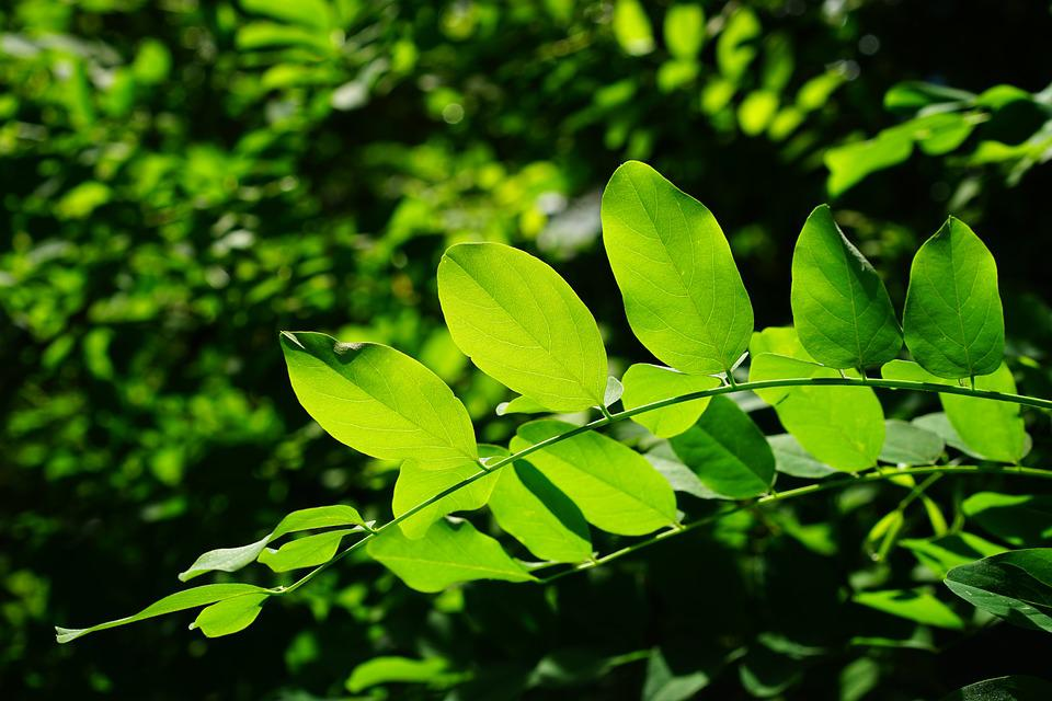 Leaves, Green, Common Maple, Tree, Shades Of Green