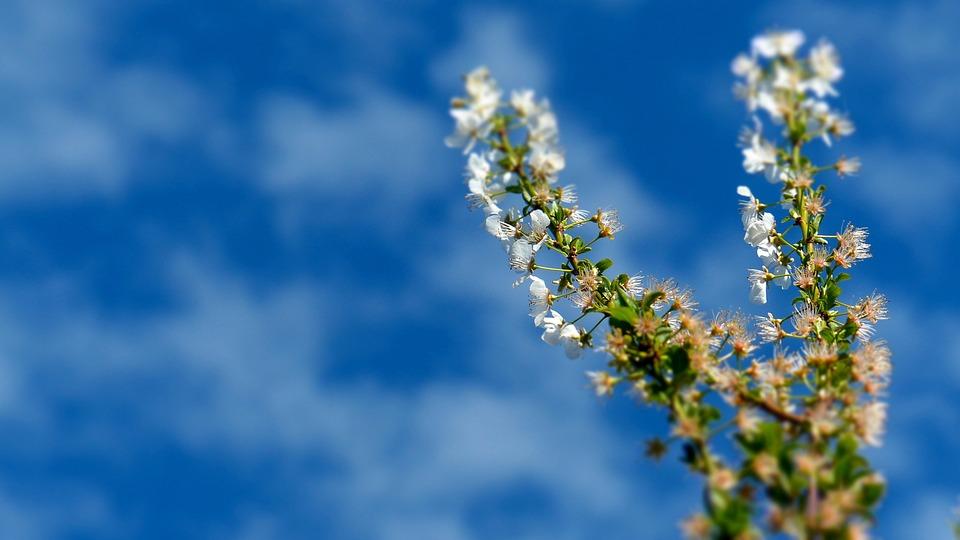 Tree, Plum Blossom, Sky, Spring, Clouds
