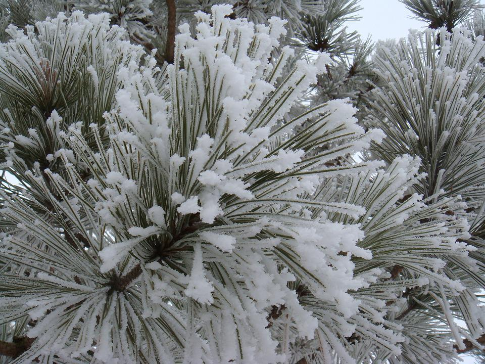 Pine, Frost, Winter, Snow, Nature, Cold, Tree, Branch