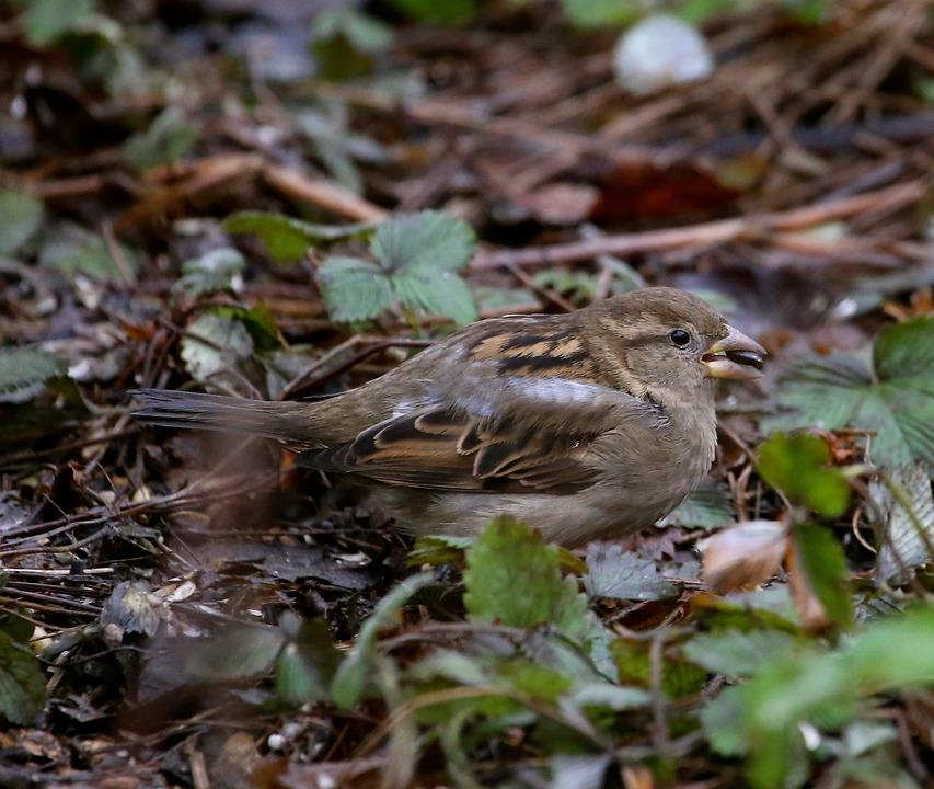 Bird, Tree Sparrow, Passer Montanus, Plumage