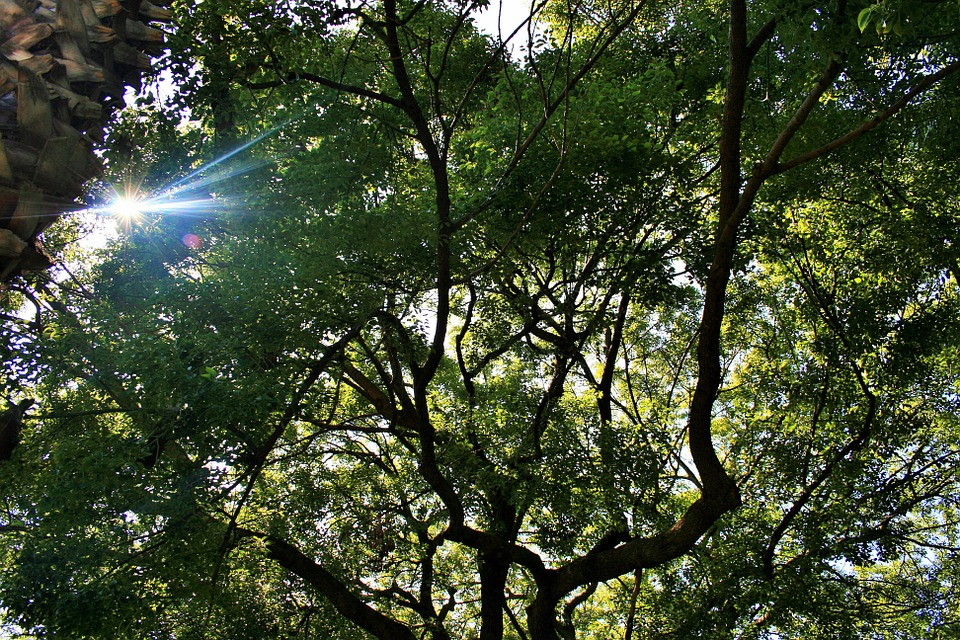 Oak Tree, Tree, Large, Spread Out, Sun, Focus