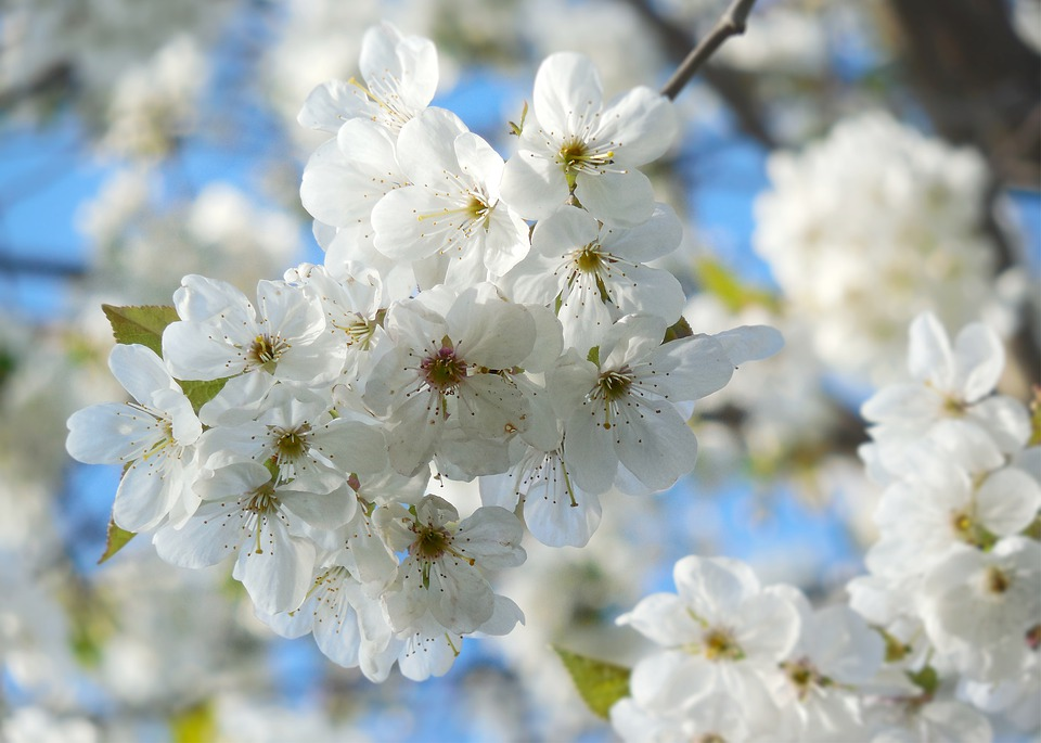 Free Photo Tree Spring Blossoming Cherry White Cherry Blossoms Max
