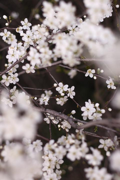 Flowers, Apple Tree, White, Branch, Tree, Spring, Bloom