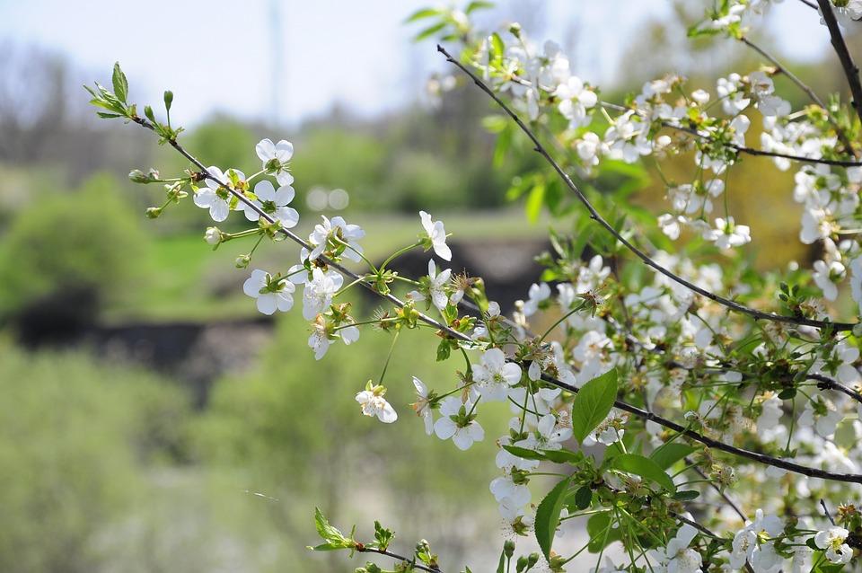 Spring, Flower, Tree, Chichewa Pictures